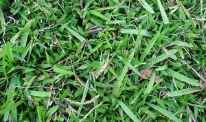 Common Lawn Weeds - Crabgrass
