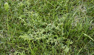 Common Lawn Weeds - Spurge