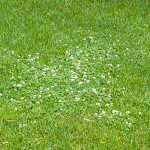 White Clover - not all weeds are bad