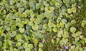 "Ground ivy also known as ""Creeping Charlie"""