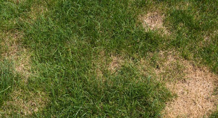Grass with Summer Lawn Disease