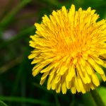 Yellow dandelion weed