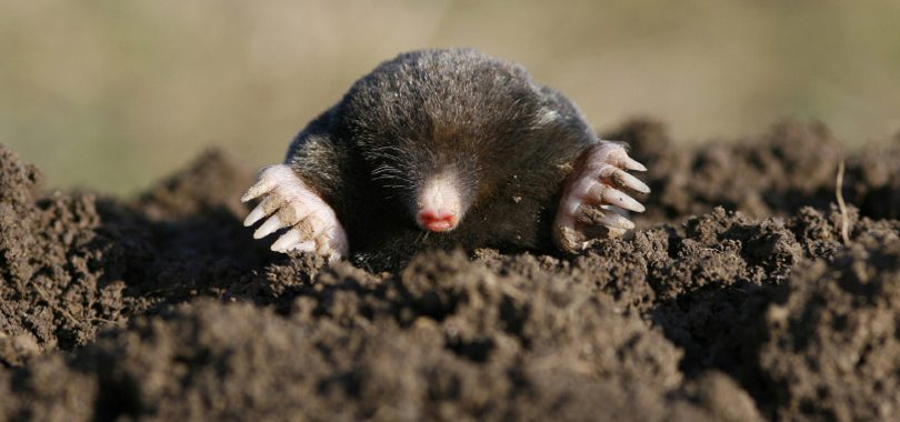 Mole laying in dirt pile with hands out